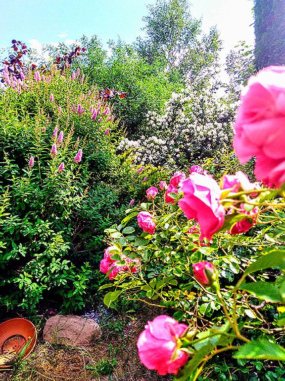 Garten Grand l´Est, Mittsommer, midsommar, juni, rosen, kletra, jasmin